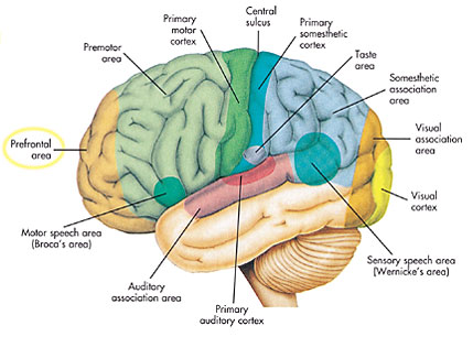 Islam Guide The Quran On The Cerebrum