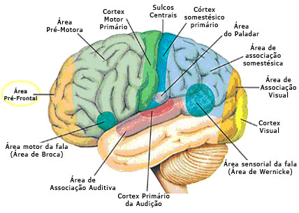 lobulos del cerebro pdf